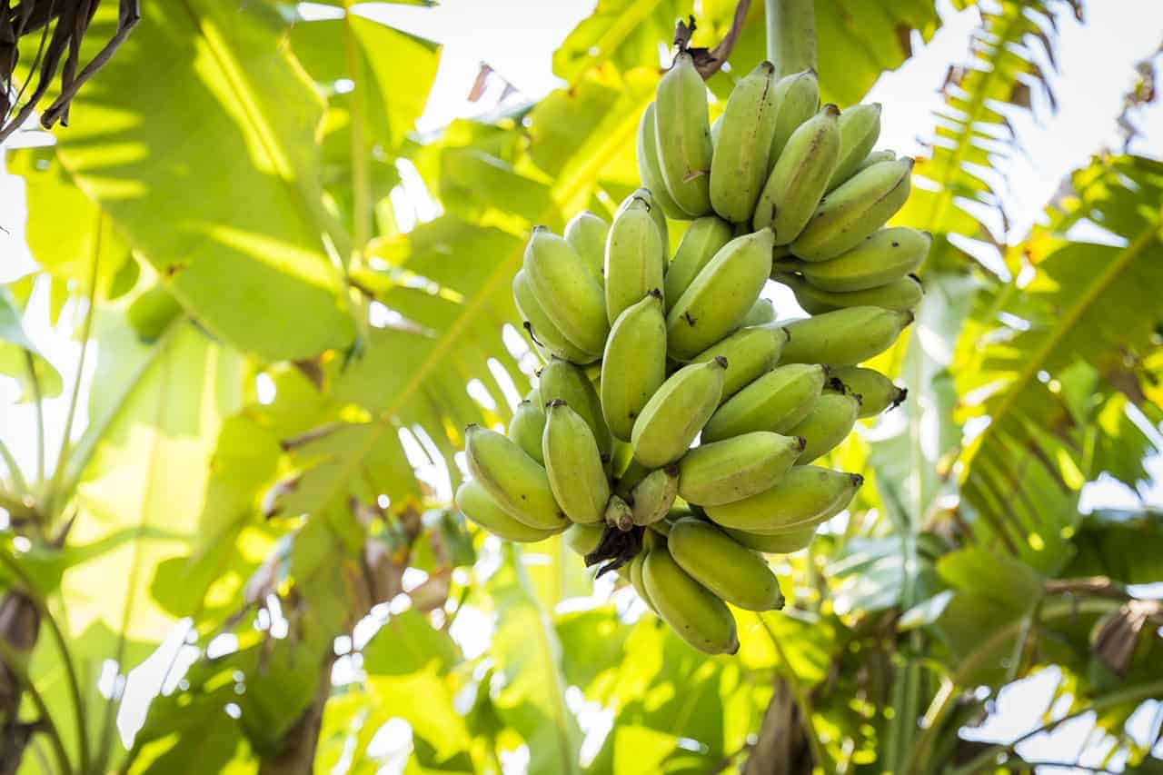 Organic Bananas grown in Siem Reap